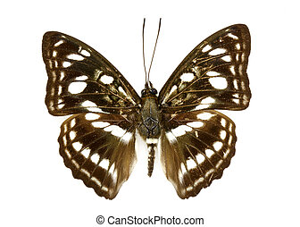 Image of Common Sailor Butterfly (Neptis hylas) on white background. Insect. Animal