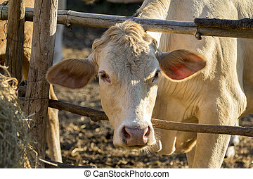 Image of cow. Farm Animal.