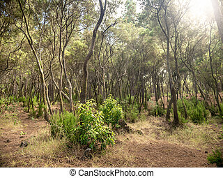 Photo of curved trees in laurel forest at Tenerife island