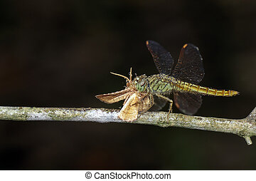 Image of Dragonfly eating a butterfly on a branch. Insect. Animal