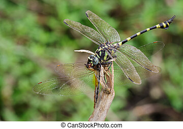 Image of Dragonfly(Gomphidae) eating dragonfly on a branch. Insect. Animal