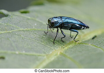 Image of Emerald Ash Borer Beetle on a green leaf. Insect....