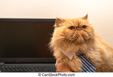 Image of exotic cat in striped tie on laptop background