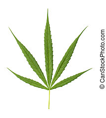Image of fresh green cannabis leaves isolated on white background.