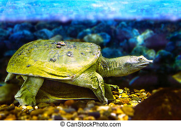 reshwater exotic Chinese softshell turtle