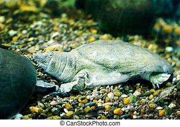 freshwater exotic Chinese softshell turtle