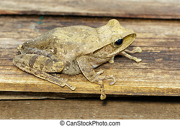 Image of Frog, Polypedates leucomystax,polypedates...