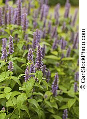 Anise hyssop - Image of giant Anise hyssop (Agastache...