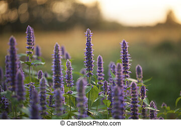 Image of giant Anise hyssop (Agastache foeniculum) in a summer garden.