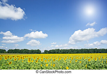 Image of golden sunflowers.