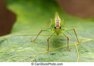 Image of grasshopper (Small Green Leaf Katydid.,Orthelimaea...