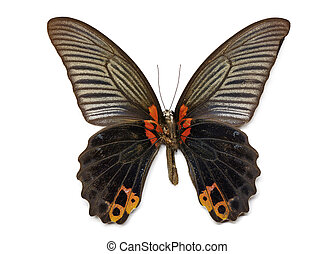 Image of Great Mormon Butterfly (Papilio memmon) on white...
