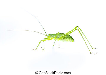 Image of green bush-cricket long horned grasshopper on white background. From side view. Insect. Animal