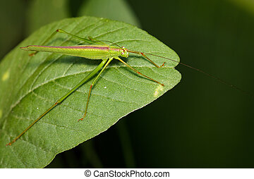 Image of green grasshopper (Small Green Leaf...