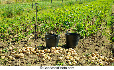 Image of harvest of potatoes, buckets and rows in field