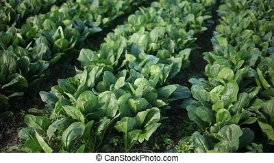 Image of harvest of spinach in field in garden outdoor, no people. High quality FullHD footage