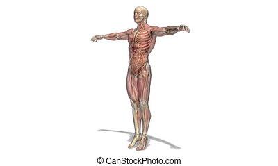human body - image of human body