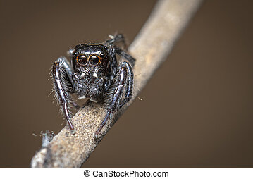 Image of jumping spiders (Salticidae) on a branch on a natural background., Insect. Animal.