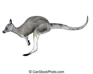 kangaroo - image of kangaroo