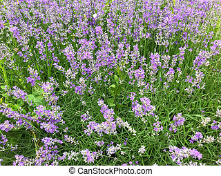 Image of lavandula background. avandula (common name lavender) is a genus of 47 known species of flowering plants in the mint family, Lamiaceae
