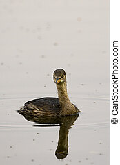 Image of little teal (Dabbling duck) Wild Animals.