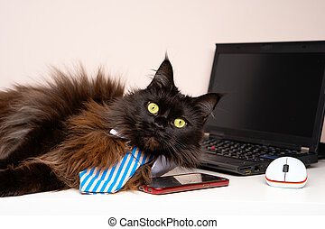 Image of main coon cat in striped tie with laptop