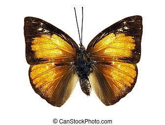 Image of Malayan Sunbeam Butterfly (Curetis santana) on...