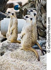 Meerkat in the wild life. - Image of Meerkat in the wild...