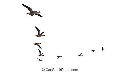 migratory bird - image of migratory bird