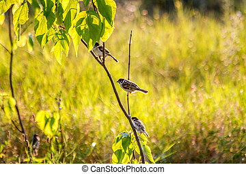sparrows sitting on a branch