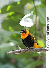 orange bishop - Image of orange bishop on branch