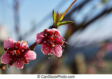 Pink peach blossom close up in a garden