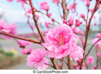 image of plum flower with blue sky background.