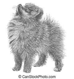 Image of Pomeranian hand drawn vector