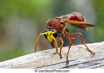 Image of potter wasp (Delta sp, Eumeninae) on dry timber. ...