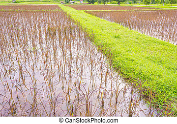 red rice field