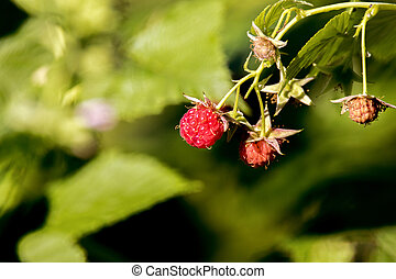 red sweet raspberry berry in the garden