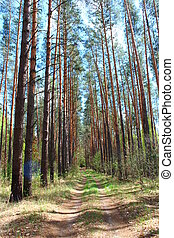 road in the spring forest with green pines