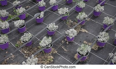 Image of rows of plants in pots in hothouse, nobody . High ...
