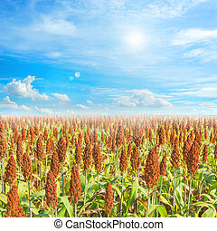 image of sorghum field and clear blue sky for background...
