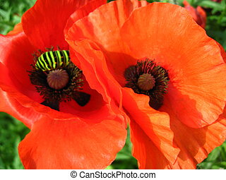 beautiful red flowers of the poppy - image of the beautiful...