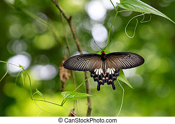 Image of The Common Mormon butterfly (Papilio polytes ...