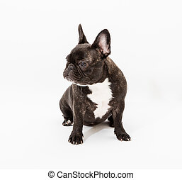 image of the French bulldog isolated