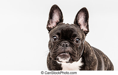 image of the French bulldog isolated