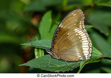 Image of The Great Egg-fly Butterfly on nature background. Insect Animal (Hypolimnas bolina Linnaeus, 1758)
