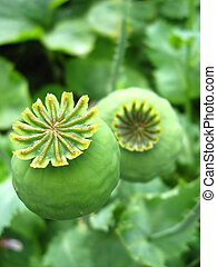 green heads of a poppy - image of the green heads of a poppy