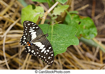 Image of The Lime Butterfly on green leaves. Insect Animal (...
