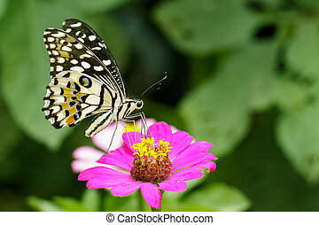 Image of The Lime Butterfly on nature background. Insect ...