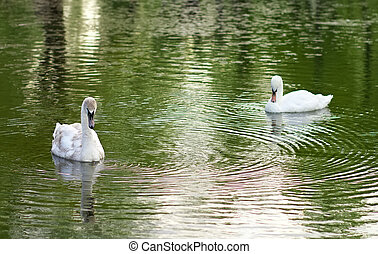 image of two swans on the city lake