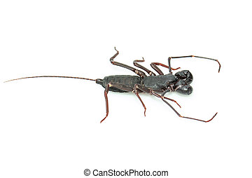 Image of whip scorpion isolated on white background. Animal. Insect.